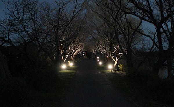 我孫子市の夜桜見物ならココ!手賀沼遊歩道の桜並木ライトアップ開始