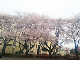泉体育館の桜並木