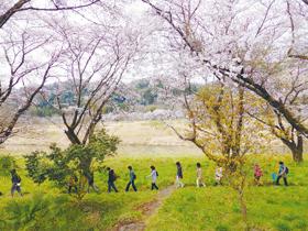 羽村取水堰と玉川上水の桜