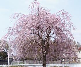 残堀川沿いの桜