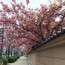 桜情報★天満で一番遅くまで桜が楽しめる「蓮興寺」