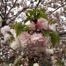 桜情報★大阪の桜の景勝地No.1!造幣局の桜の通り抜け