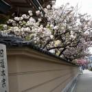 桜情報★一気に開花!天満の「蓮興寺」、ほぼ満開で~す!