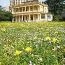 【oedo LIVING】広大な芝庭の一画に咲き競うカントウタンポポ