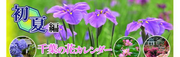 """バラ、アジサイ、花菖蒲…。千葉の花カレンダー""""初夏編"""""""