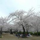 桜情報★伊丹「昆陽池公園」の桜、週末でもまだ楽しめそうですよ♪