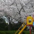 桜情報★伊丹「瑞ケ池公園」もまだ楽しめますよ