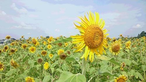 約90万本のひまわり♪「ひまわりまつり」@野田 期間中、花摘み自由。