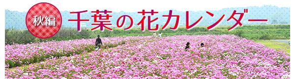 """コスモスの季節。千葉の花カレンダー""""秋編"""""""