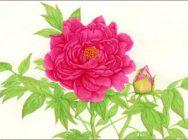 デッサンと植物水彩画教室  6回