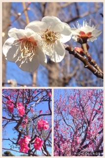 約650本の梅!羽根木公園でせたがや梅まつり開催中★3/5(日)まで