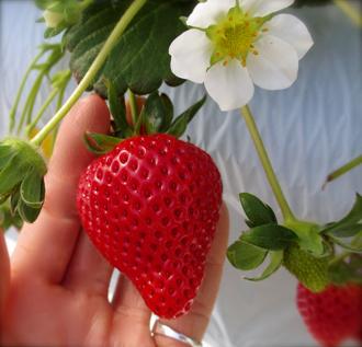 1703_strawberryfin