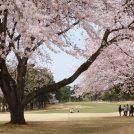 3/27(月)我孫子ゴルフ倶楽部で観桜会
