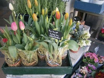 店先にチューリップ♪西宮「グリーンハウスひぐち」で春の花探し