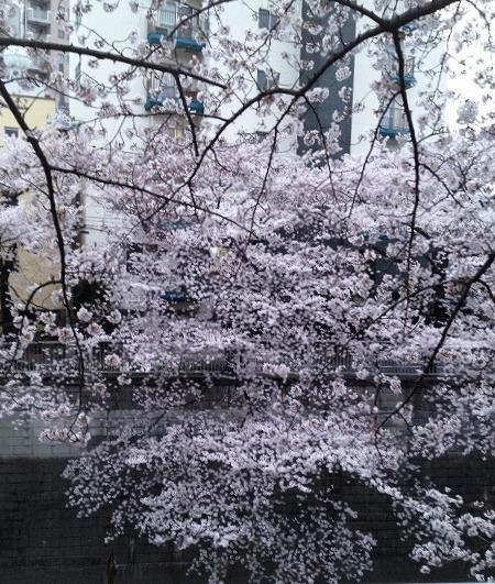 約2万人が来場する黒目川花祭り 4月1日(土)・2日(日)【Info】