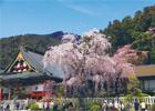 身延町・樹齢400年しだれ桜