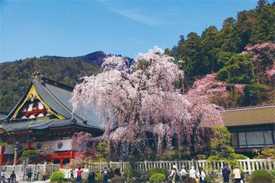 樹齢400年の「しだれ桜」・身延町