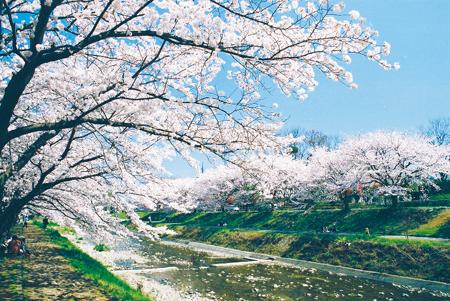 南浅川桜並木