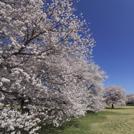 【2017年お花見】桜を楽しむイベントの参加者募集♪