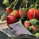 近場で春の収穫体験!大粒いちご狩り「フクシマストロベリーファーム」@小平