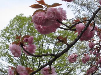 1704_yaesakura