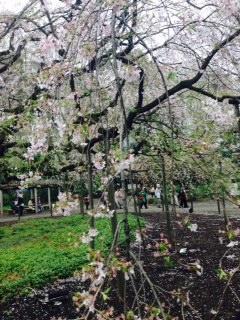 【本駒込】 薄紅色のしだれ桜が有名な「六義園」