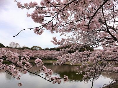 桜開花情報★さくらの名所100選の地!「明石公園」も満開!