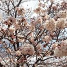 桜の綺麗な「柏ふるさと公園」3月下旬に遊具がリニューアル