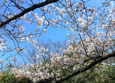 桜開花情報★神戸「大倉山公園」でもいよいよ咲き始め!