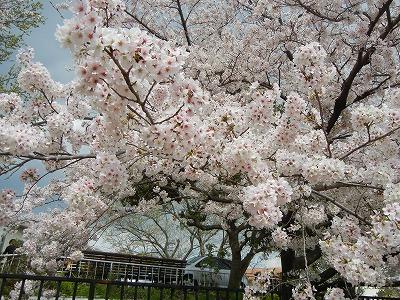 桜開花情報★今週末も楽しんで!高槻「今城塚古墳公園」の桜の大木が満開