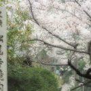桜開花情報★和泉「松尾寺」の桜のトンネルが見事!