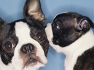 Secret Kiss From One Boston Terrier to Another --- Image by © Royalty-Free/Corbis