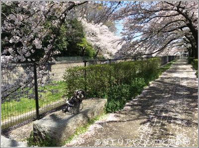 残堀川の桜並木
