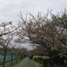 桜開花情報★伊丹「瑞ケ池公園」の桜も開花!