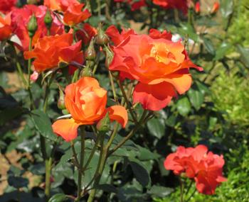 1705_rose-michiko