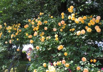 1705_rosefes2