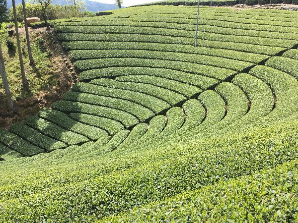 新茶の季節♪美しい茶畑!宇治茶の郷「和束」をめぐる【京都府】