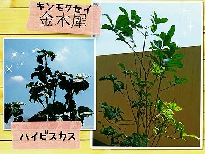 新緑の金木犀&ハイビスカス