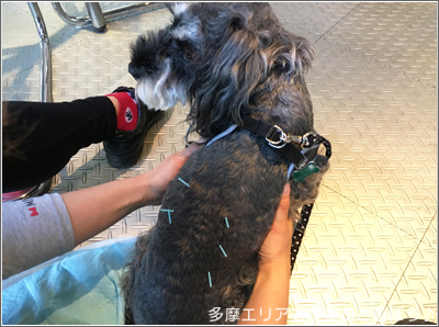 犬の鍼治療
