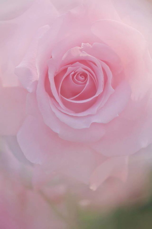 おぎそ あいさん pure rose」