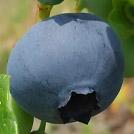 machida_blueberry_eye