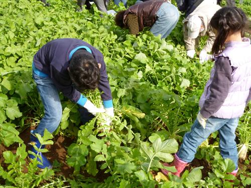 大根の収穫体験