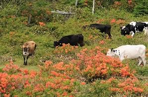 ツツジと牛 (2)