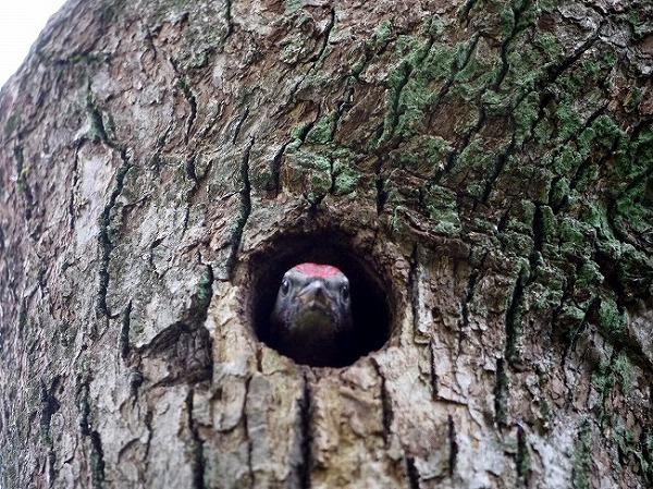 緑豊かな港北ニュータウン。窓の下にキツツキの巣を発見
