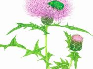 植物水彩画