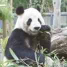 赤ちゃんパンダ&新ランドマーク誕生! 上野で「パンダめぐり」を楽しもう