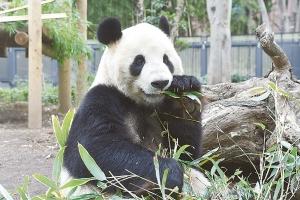 お父さんパンダのリーリー