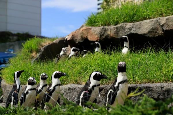 UP草原のペンギン