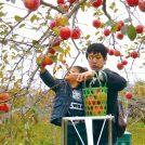 Pりんご収穫1373