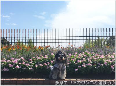 昭和記念公園 コスモスまつり2017
